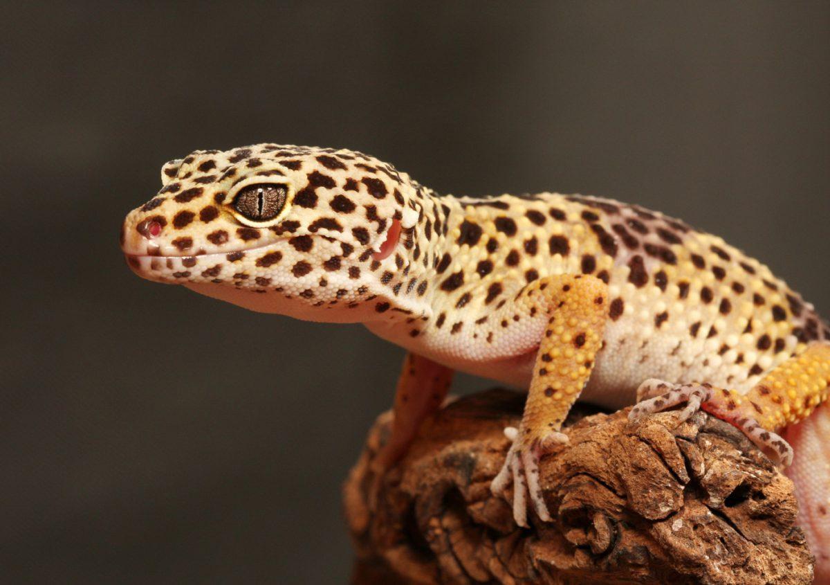 Leopard-Gecko-1200x845.