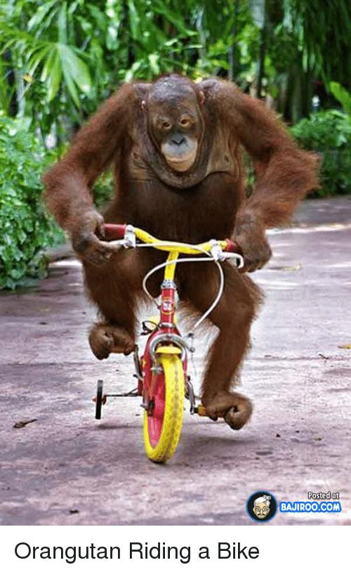 posted-at-postedat-bajiroo-com-orangutan-riding-a-bike-25237658.png
