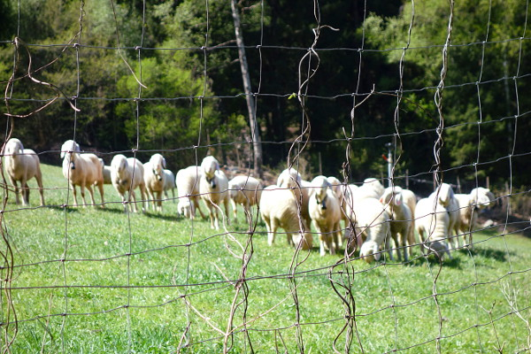 Schafe 600b.