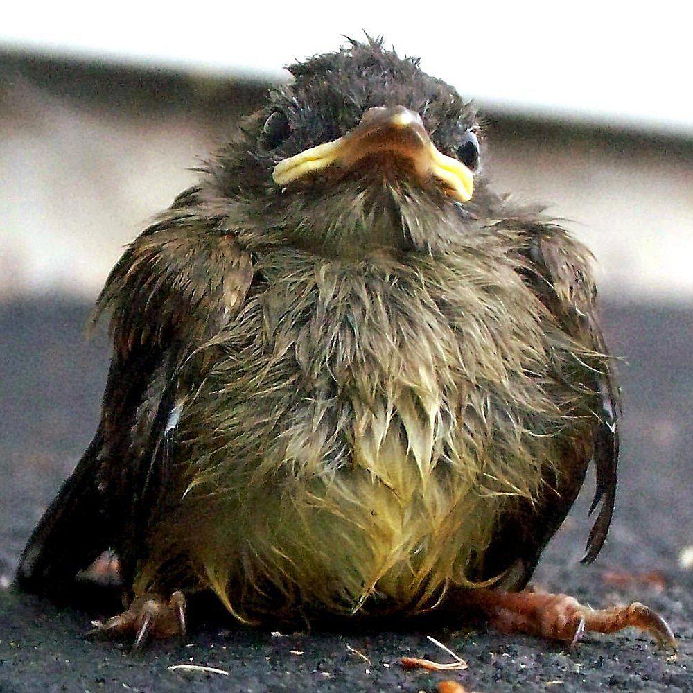 wet-baby-bird-58a6d7d43df78c345b5bad81-1.jpg